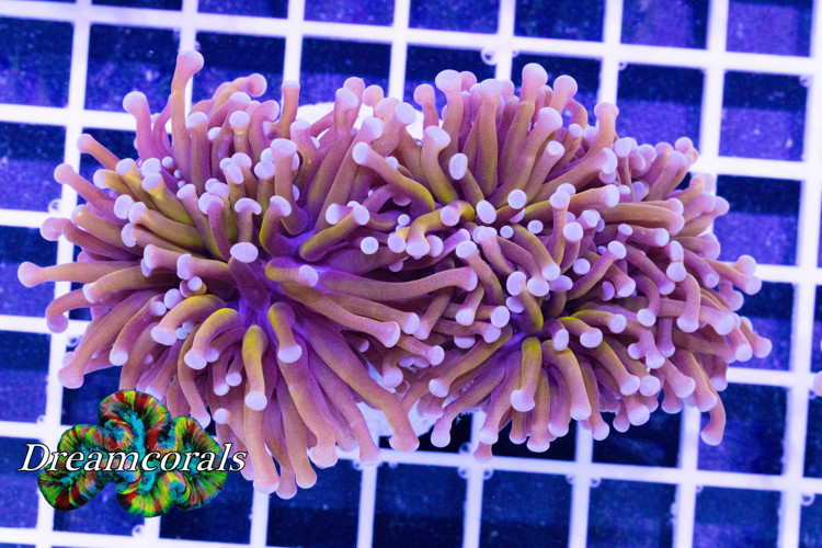 GOLDEN TORCH (EUPHYLLIA GLABRESCENS) 3 HEADS