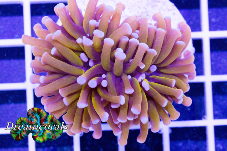 GOLDEN TORCH (EUPHYLLIA GLABRESCENS) 2HEADS