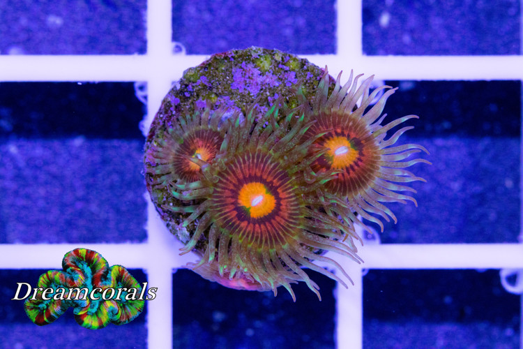 Rainbow Incinerator (4 polyps)