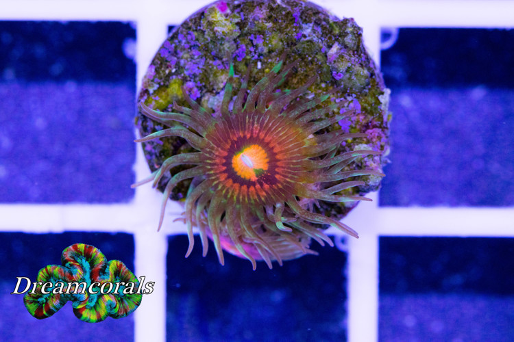 Rainbow Incinerator (2 polyps)