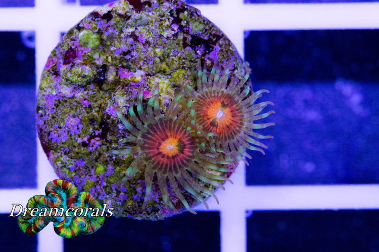 Rainbow Incinerator (2polyps)