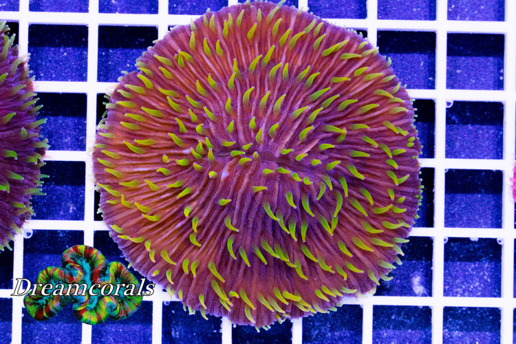 Premium Cycloseris yellow polyps