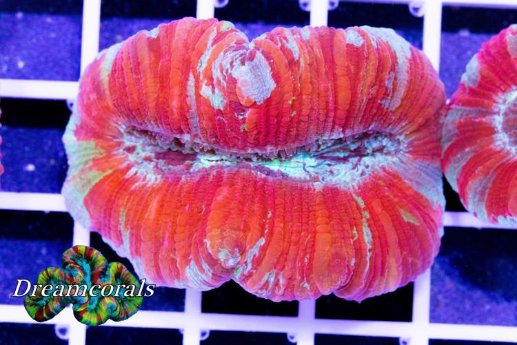 Trachyphyllia Geoffrey Multicolor