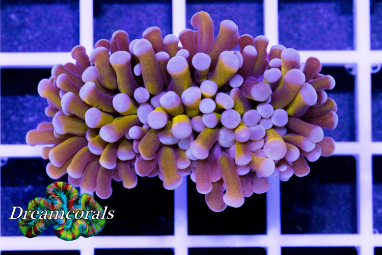 Golden Torch Euphyllia
