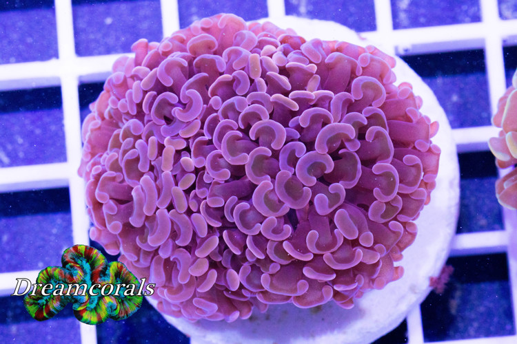 Nano Purple Euphyllia