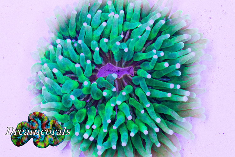 Heliofungia Multicolor Toxic green