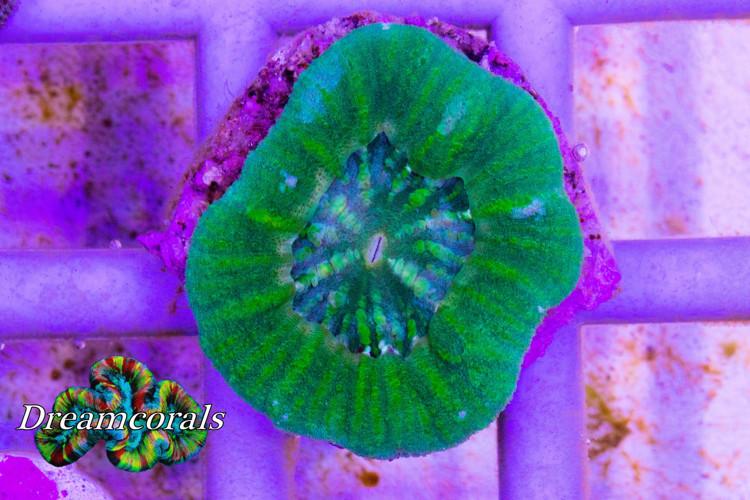 Acanthastrea Maxima Toxic Green