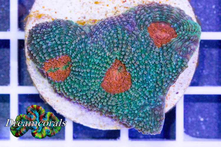 Acanthastrea Echinata Bicolor