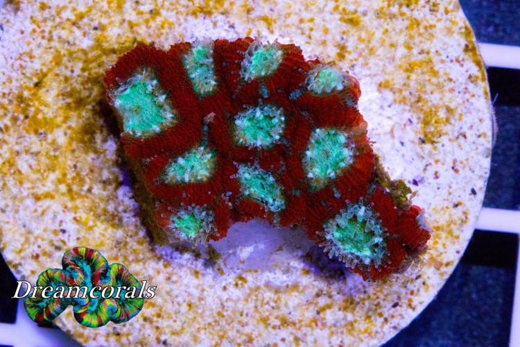 White Rocks Micromussa