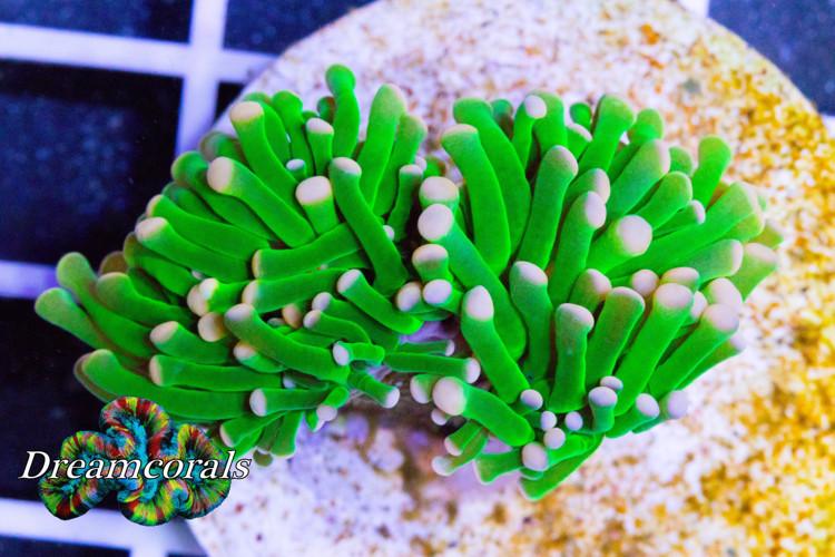 Toxic Green Euphyllia Premium color (2 heads)