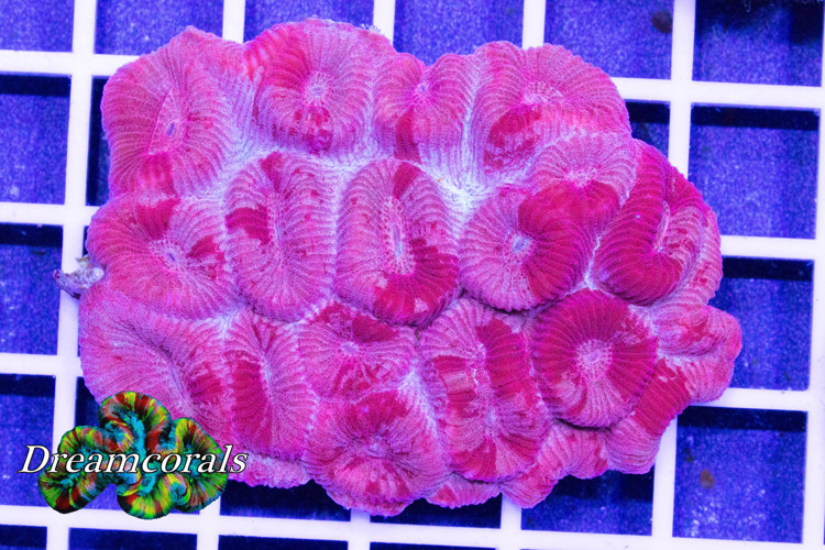 Fluted Moon Coral