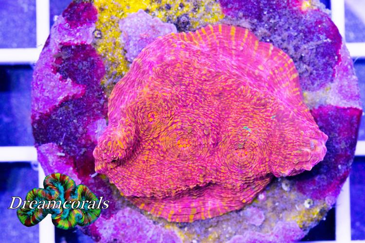 Bicolor Chalice  Echinophillia