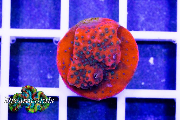 Cornbread Crimson Monti