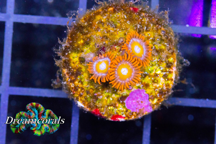 Blondies  zoa