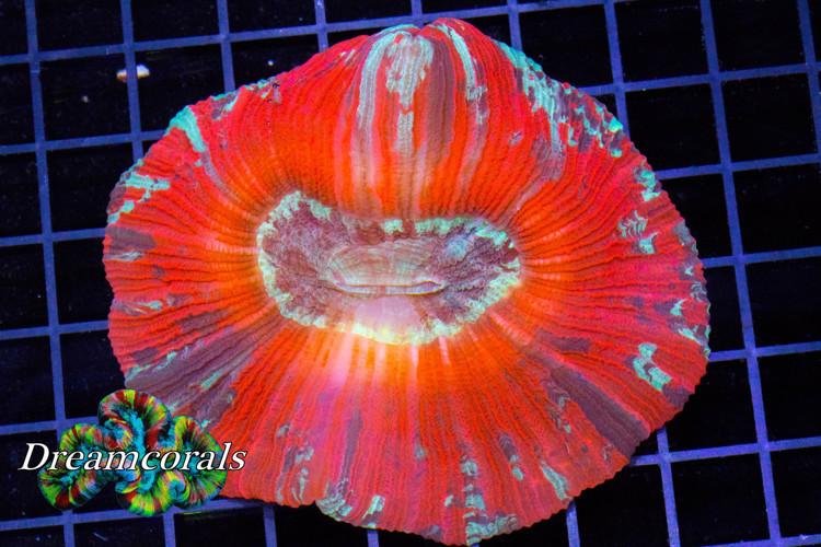 Trachiphillia Multicolor
