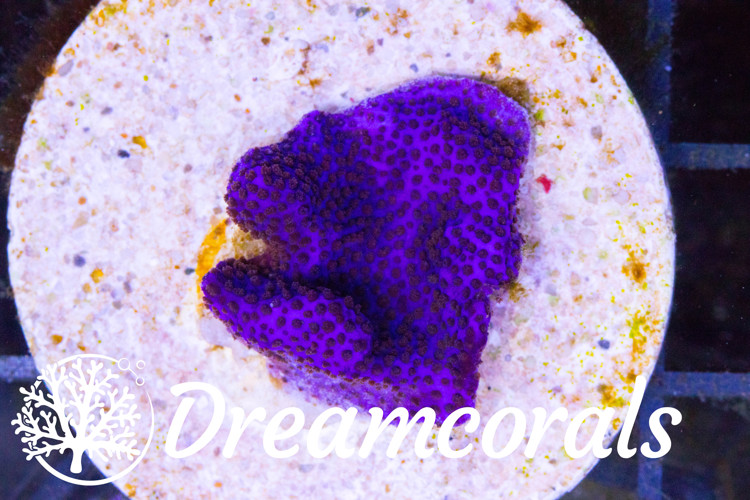 Purple Haze Montipora