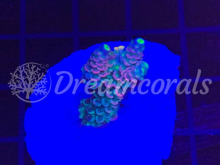 Homewreker Acropora (Extremely rare)