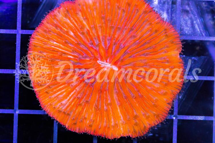 Rainbow Fungia Premium Color