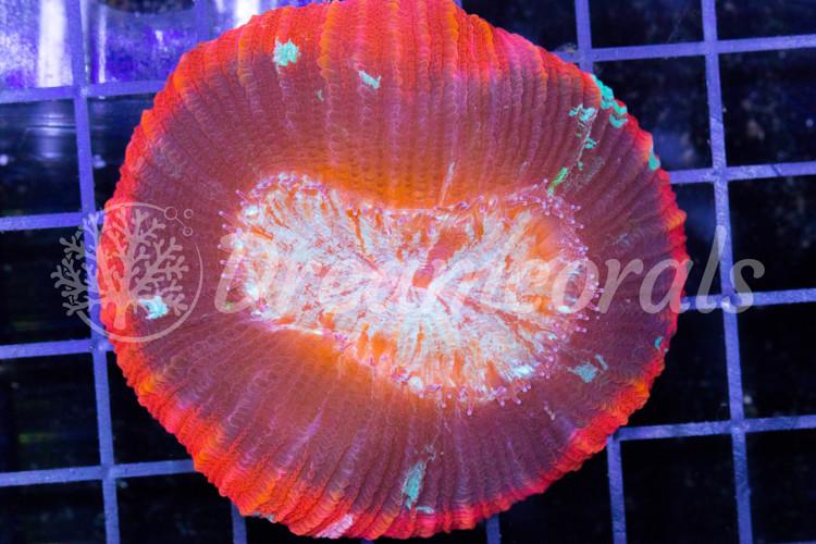 Red Rim Trachiphillia Premium Color