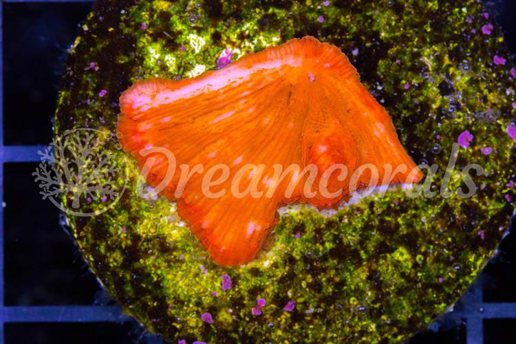 Fungia Orange Frag green edge