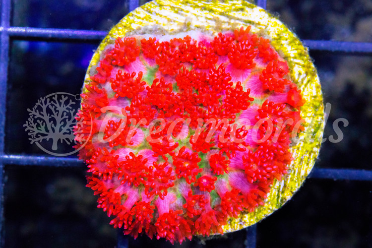 AN Love Blossom Goniopora (Extremely Rare)