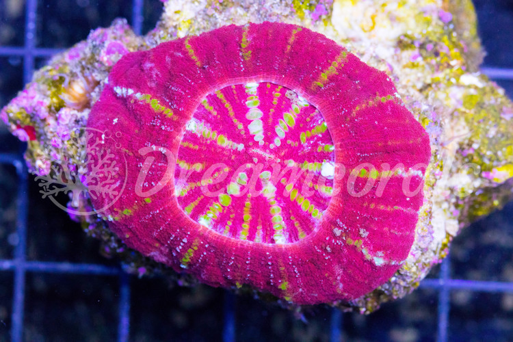 Bloody red Scolymia Vitiensis