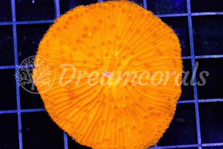Orange Cycloseris  premium color