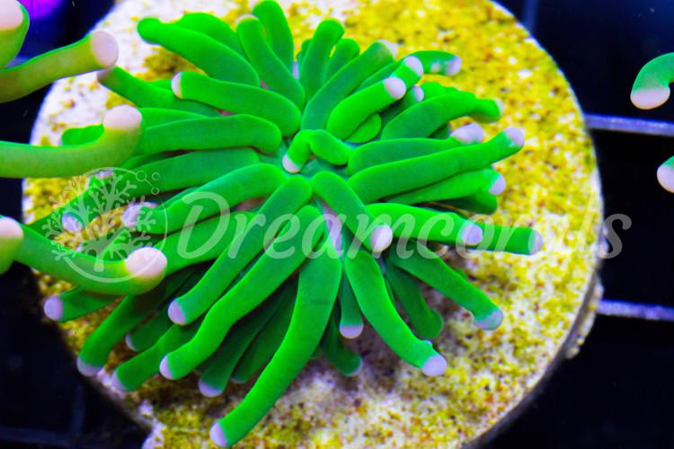 Toxic Green Euphyllia Premium color (1 heads)