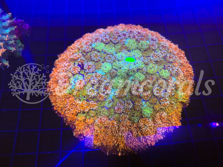 Rhodactis Gigantica Multicolor (20cm)