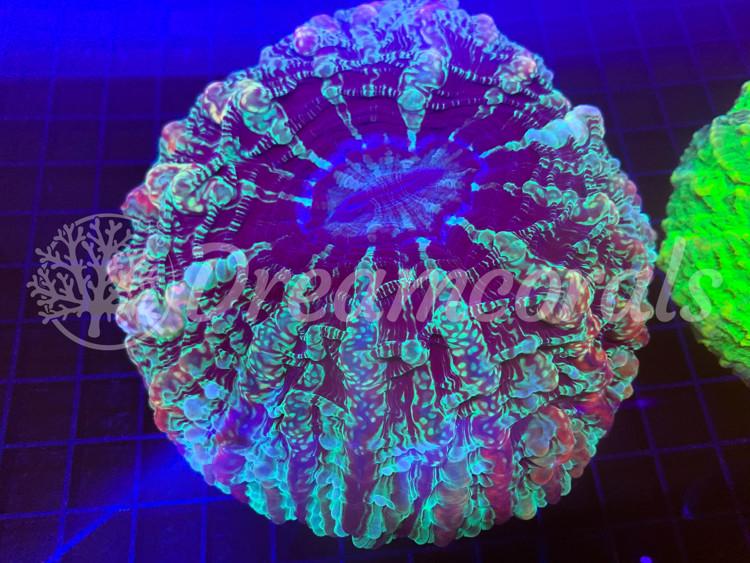 Cynarina Lacrimaris Dubble color( Rare)