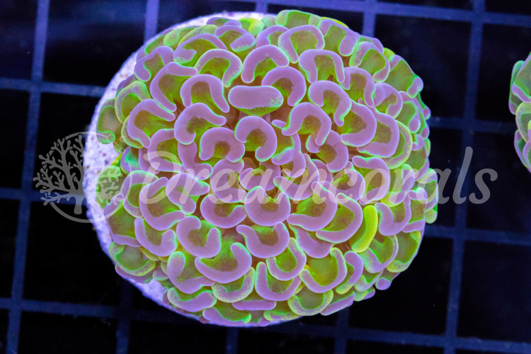 Euphyllia Yellow Grafted