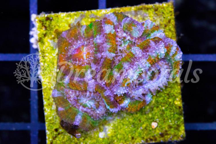 Acanthastrea Lordhovensis Rainbow