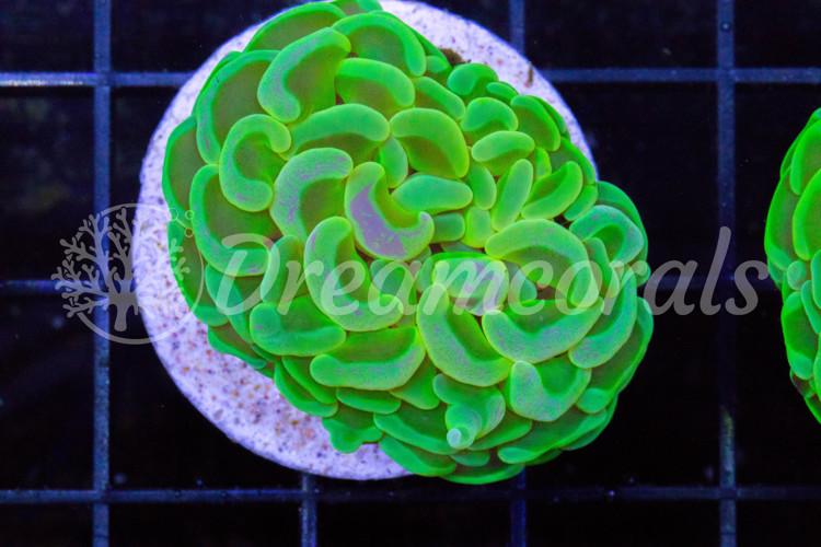 Toxic Green Euphyllia Premium color