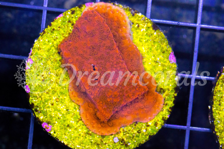 Jason Fox orange marmalade montipora danae