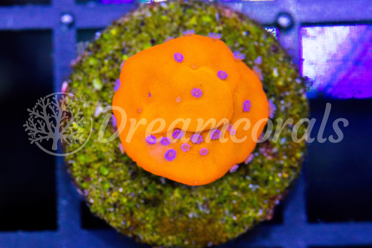 Flaming Pheonix Montipora (nano)
