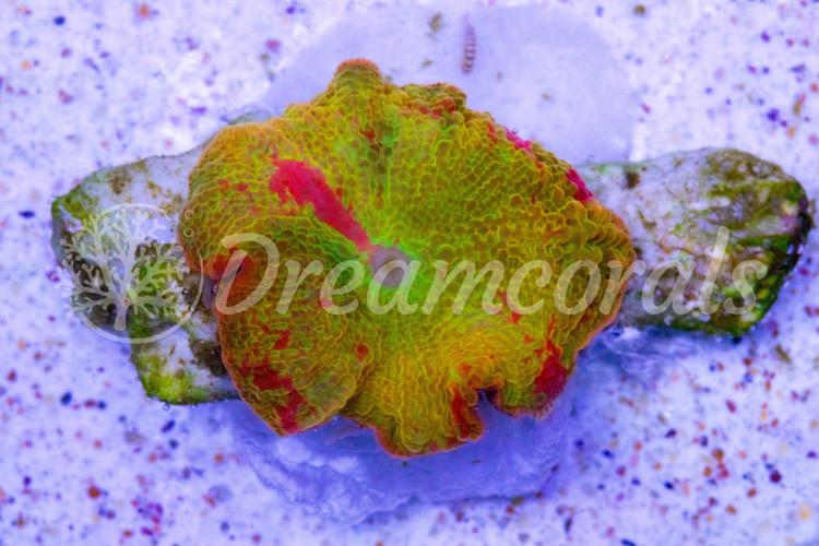 Yellow Jawbreker Discosoma