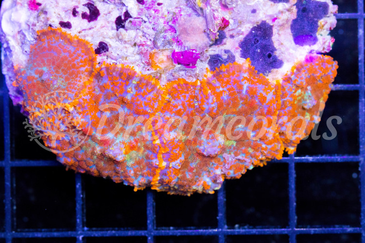 Orange rainbow Rhodactis colony