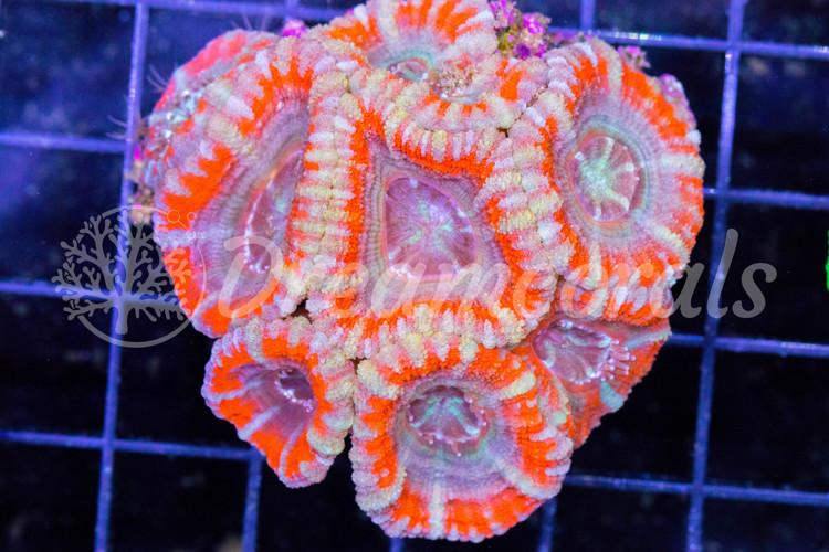 Indo Acanthastrea (100% aquaculture)