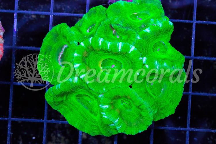 Indo Acanthastrea toxic green (100% aquaculture)