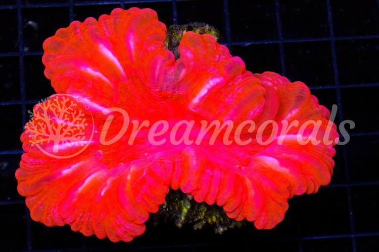 Cynarina Lacrimalis Toxic Red Large