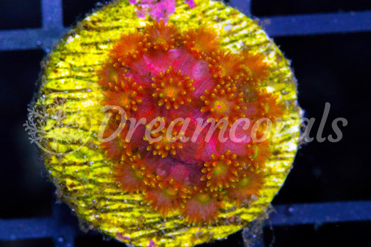 Rainbow Goniopora (rare)