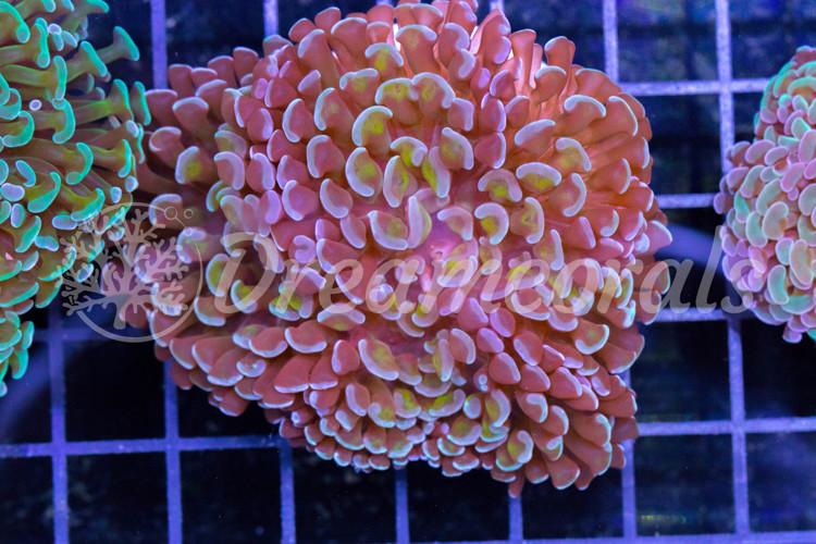 Euphillia Hammer Bicolor