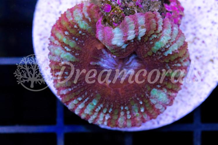 Acanthastrea Maxima (rare color)
