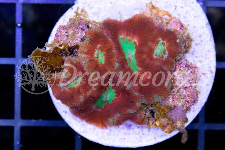Indo Acanthastrea Rainbow (100% aquaculture)