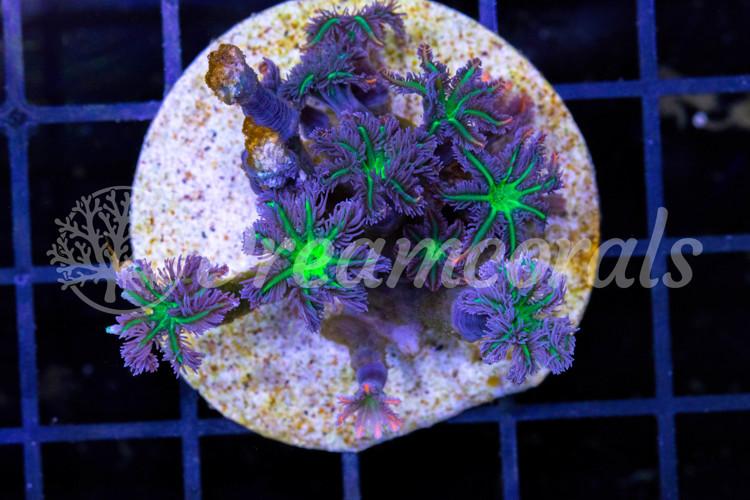 Clavularia Premium color