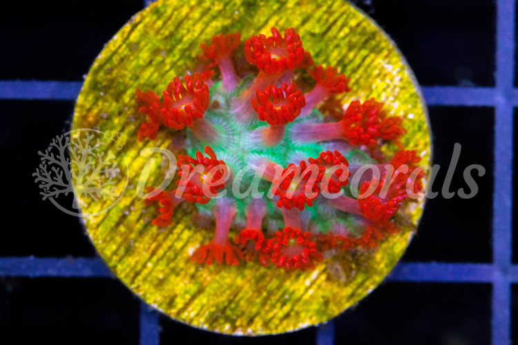 AN Love Blossom Goniopora M (Extremely Rare)