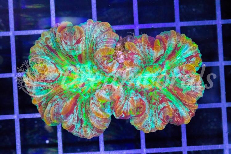 Mastergrade Trachiphillia Premium Color