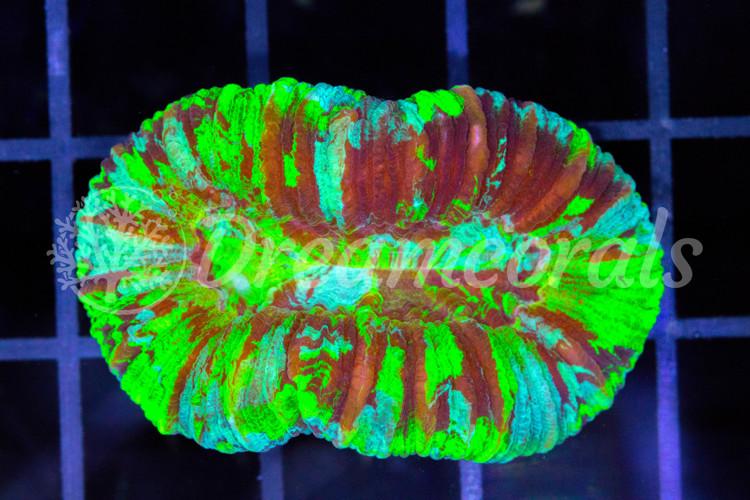Trachiphillia Premium Color