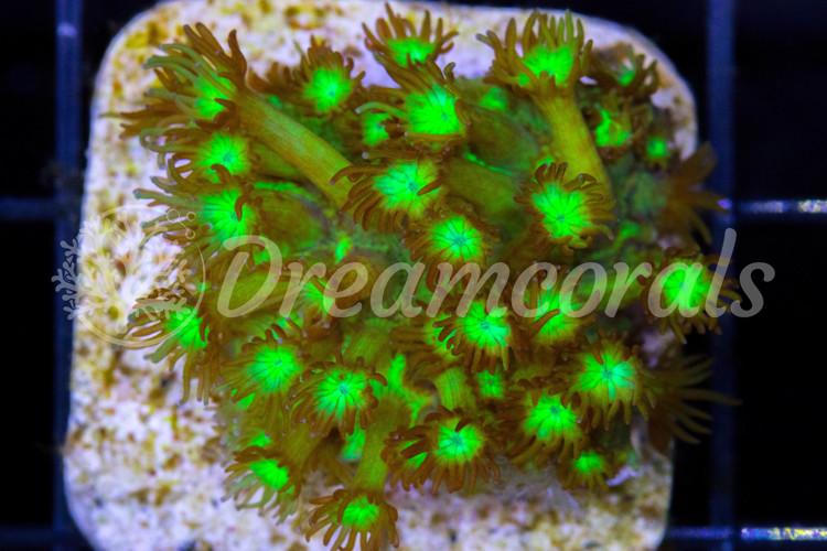Neon Green Goniopora