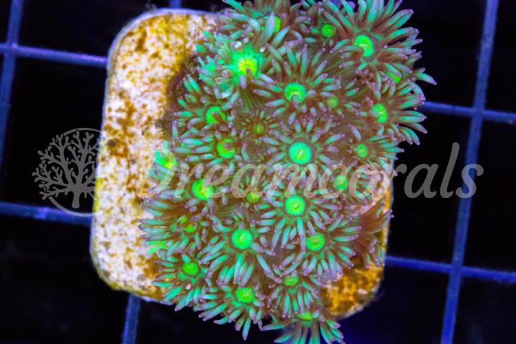 Yellow Dots  Goniopora